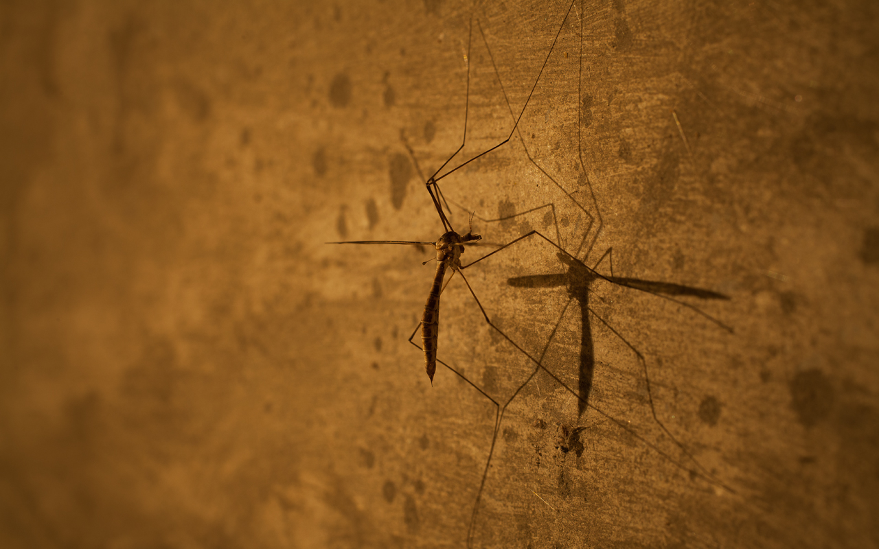 Crane Fly � 2012 James Sinks